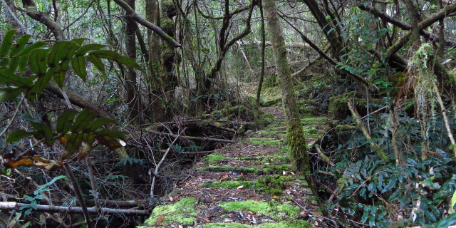 Photograph of rainforest with boardwalk winding through it. The boardwalk is covered in moss.