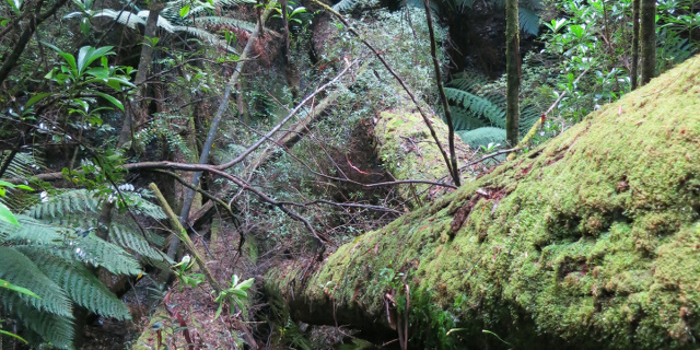 Photograph of rainforest with long fallen mossy tree trunks.