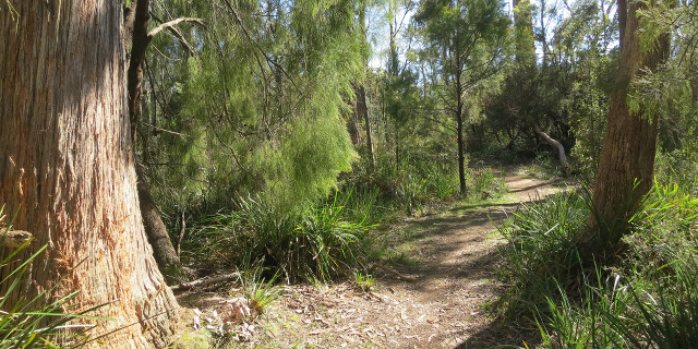 Photograph of track meandering between eucalypts and cherry ballart trees.